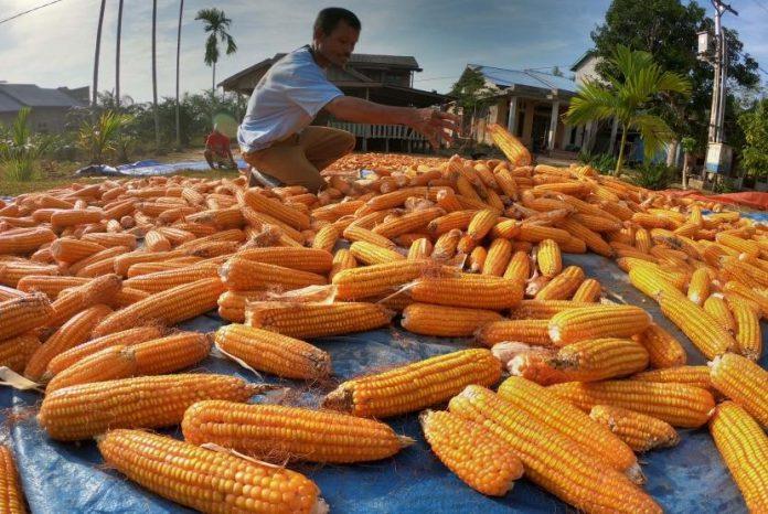 Pasalnya, stok jagung yang mampu dikendalikan pemerintah bisa dibilang sangat minim.